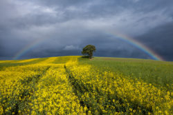 Rainbow over The Lonely Tree in County Carlow