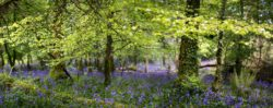Lough Key Forest Bluebells