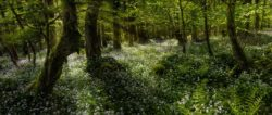 A carpet of wild garlic in the woods of Lough Key Forest Park